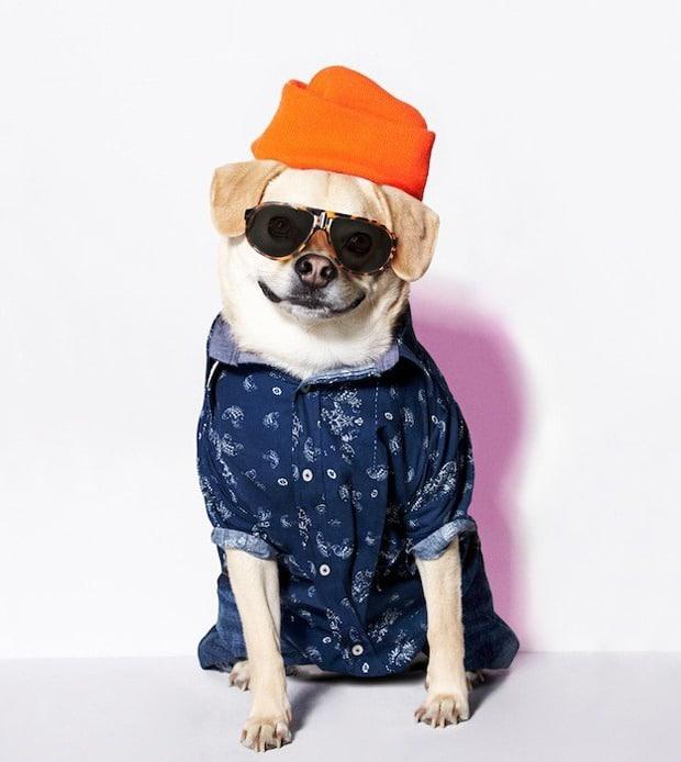 american beagle (3)