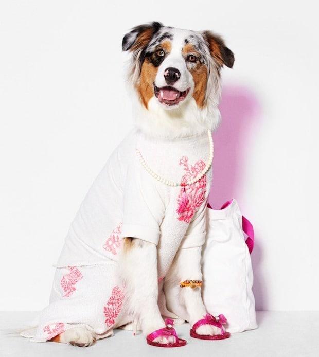 american beagle (6)