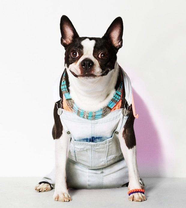 american beagle (7)